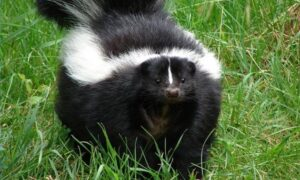 How to Deal with Skunk Spray